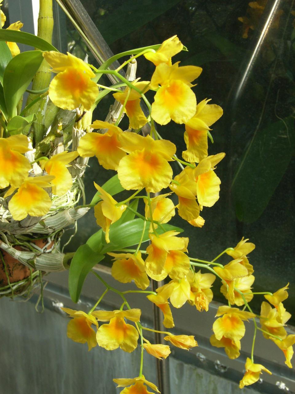 http://www7a.biglobe.ne.jp/~flower_world/images/200602/Dendrobium%20ejirii%20b.JPG