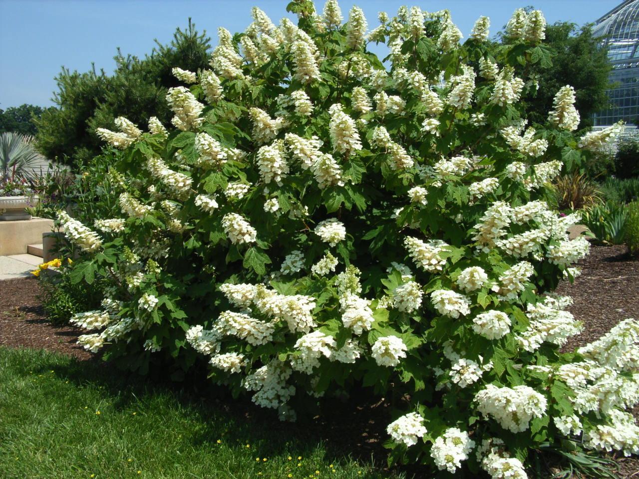 Oakleaf Hydrangea Alice