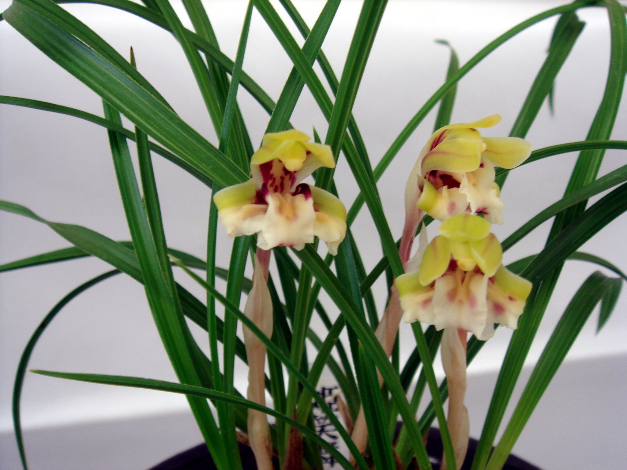 http://www7a.biglobe.ne.jp/~flower_world/images/Cymbidium%20goeringii/DSC04736.JPG