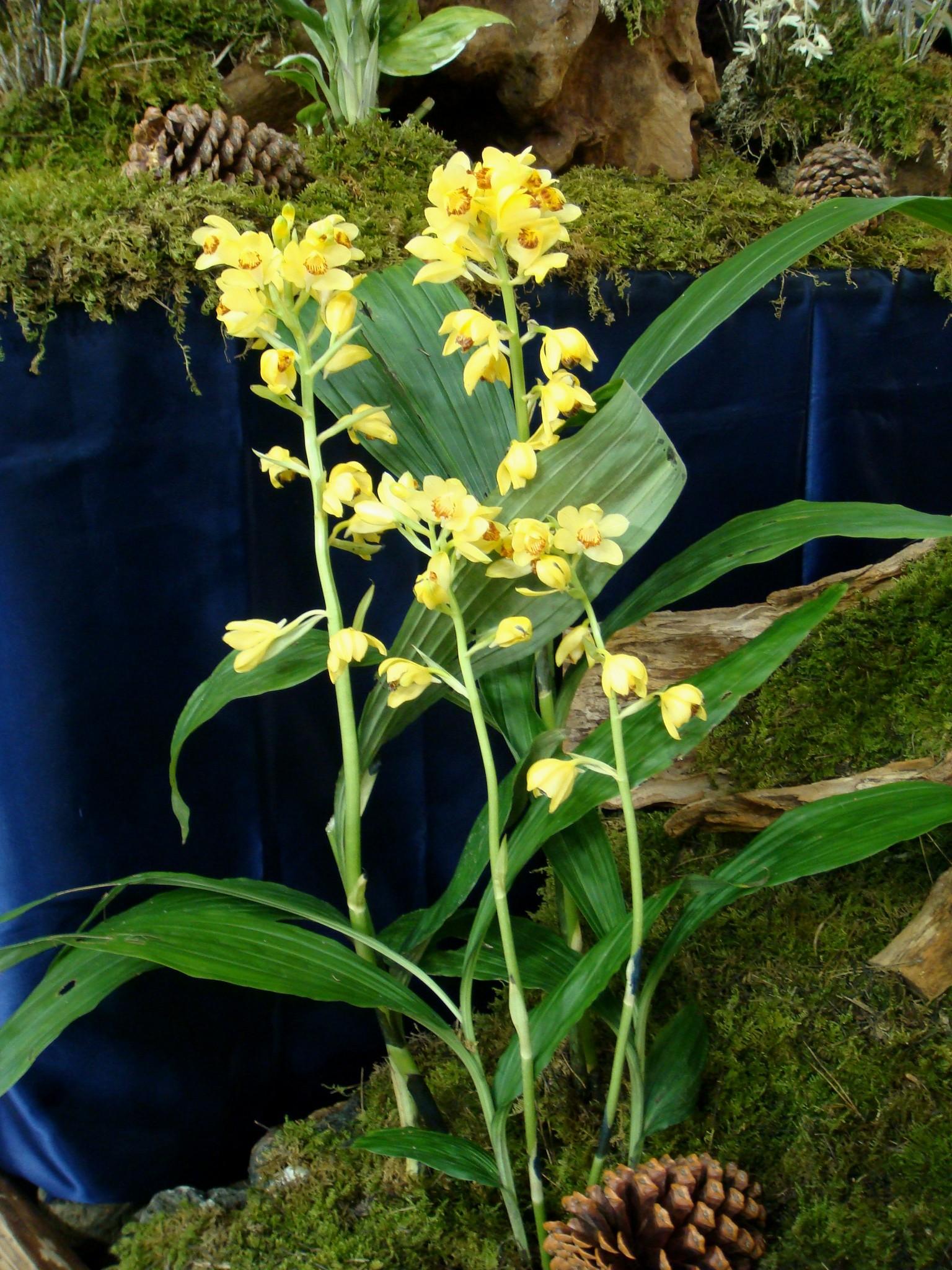 http://www7a.biglobe.ne.jp/~flower_world/images/Phaius%20flavus/DSC03059.JPG