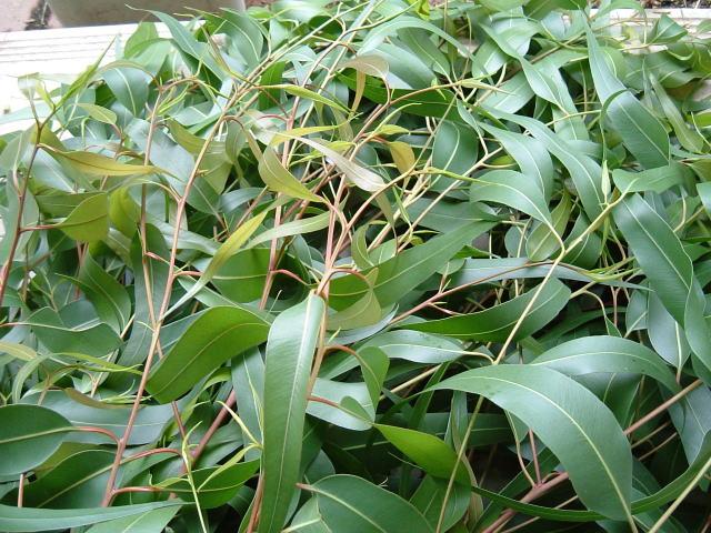 レモンユーカリの葉