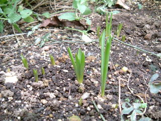 地植えの植えっぱなしのムスカリの芽