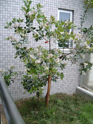 こぼれ種から育ったシャリンバイ
