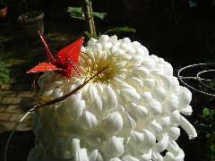 年賀状でも遊べた季節のずれた大輪菊