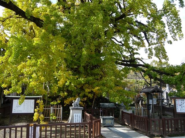 上沢寺のオハツキイチョウ